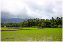 8082 - paddy field (chandrasekaran a 50 lakhs views Thanks to all.) Tags: paddyfield hills pothigai coconut trees canoneos6dmarkii tamronef28300mm ilanji courtallam tamilnadu india