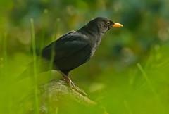 Merel - Tudus merula (wimberlijn) Tags: merel turdusmerula zangvogel vogel vogelhutrucphen blackbird songbird bird nature wildlife animal outdoor