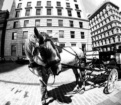 Horse in Old Montreal (MassiveKontent) Tags: streetphotography montreal bw contrast city monochrome urban blackandwhite street photo montréal quebec photography bwphotography streetshot architecture asphalt concrete shadows noiretblanc blancoynegro horse horseandcarriage oldmontreal gopro