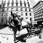 Horse in Old Montreal thumbnail