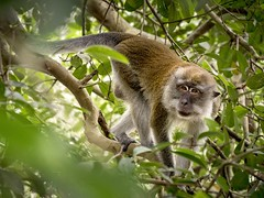 Loitering (thecrapone) Tags: monkey naturereserve sungeibuloh forest jungle ape tree leaf leaves branch climbing look glance asia solitude calm longtailedmacaque macaque crabeatingmacaque macacafascicularis g85 14140mm lumix