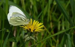 Green veined white - Geaderd witje (joeke pieters) Tags: 1390177 panasonicdmcfz150 geaderdwitje greenveinedwhite vlinder butterfly schmetterling papillon insect paardenbloem dandelion bloem flower