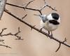 Cuteness Overload (vernonbone) Tags: 2018 april birds chickadee february lens march nikond3200 redwingedblackbirds sigma150500 thicksonwoods