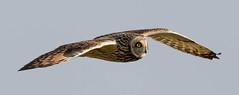 Short Eared Owl (irelaia) Tags: short eared owl sunshine wild bird hunting cotswolds