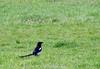 Elster (borntobewild1946) Tags: copyrightbyberndloosborntobewild1946 nrw nordrheinwestfalen niederrhein rheinland moenchengladbach mönchengladbach april2018 frühling2018 spring springtime elster magpie wiese meadow vogel bird