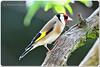 (M.A.K.photo) Tags: stieglitz cardueliscarduelis europeangoldfinch goldfinch putterofdistelvink distelvink nature wildlife bird birds vogel vögel nikon nikkor afnikkor300mmf28 nikkor300mm28 afstc20eiii nikkorafstc20eiii birdwatcher naturewatcher hessen germany deutschland