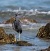 Eastern Reef Egret (Egretta sacra)-4.jpg (irsacae) Tags: ocean shore bird heron woodmanpoint cockburn jetty groyne lake sea