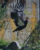Condor Taking Off (Scott 97006) Tags: flight bird condor awesome huge feathers zoo