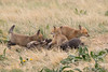 Romping Red Fox kits (TonysTakes) Tags: fox redfox kit foxkit weldcounty wildlife colorado coloradowildlife