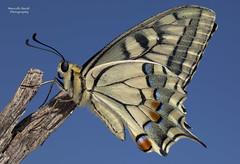 Elegance (guitarmargy) Tags: butterfly lepidottero farfalla papilionidae macro portrait closeup bugshot elegance insects nature wildlife animals fauna marcellobardi canon