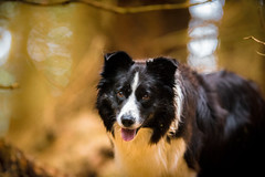 Simply Mist (JJFET) Tags: border collie dog dogs sheepdog herding