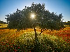 luz de jaén (kastorhp) Tags: red amapolas olivo jaén yellow cielo blue sol ramas hojas green hierba flores arbol margaritas