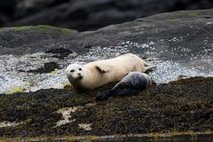D50_6440.jpg (ManuelSilveira) Tags: mamiferosmarinhos focacomum locais mamiferos escocia fauna harborseal phocavitulina tobermory scotland reinounido gb