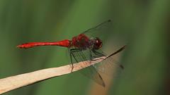 Sympetrum sanguineum (Visual Stripes) Tags: dragonfly odonata sympetrum olympusepm1 sigma105mm macro handheld microfourthirds m43 mft