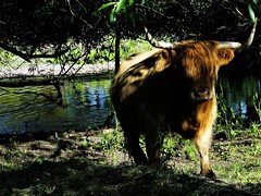 """ Dabbling In The Dew "" (hope2029) Tags: river shadows trees highland cow horns sunshine pool west yorkshire"
