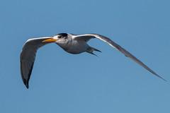 Cretsed Tern (RoosterMan64) Tags: australia australiannativebird bif bird birdinflight cretsedtern nsw nature tern wildlife