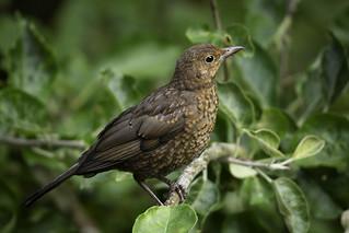 Blackbird Juvenile
