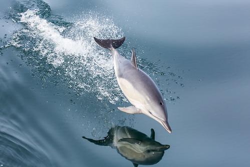 Common Dolphin in flight