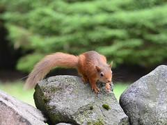 More (stuant63) Tags: redsquirrel sciurusvulgaris angus scotland cairngormsnationalpark glenclova