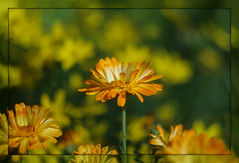 Yellow flower (Körnchen59) Tags: blume flower garten yellow gelbsommer körnchen59 elke körner pentaxks2 zenithelios44k