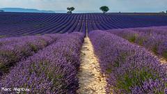 Lavandin en fleur (MarcEnGalerie) Tags: balade flowers lavande lavender fleurs valensole provence france fra