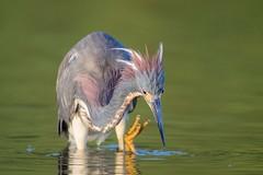 It Came From The Deep (gseloff) Tags: tricoloredheron bird animal nature wildlife water reflection scratching bayou horsepenbayou pasadena texas kayak gseloff