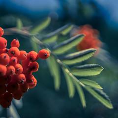 Ebereschenbeeren - Rowan Tree Berries (Of Light & Lenses) Tags: redberries rotebeeren berries swirleybokeh vintagelens sonya7rii carlzeiss distagon hollywooddistagon 2028mm carlzeiss2028mmdistagon fastwideangle