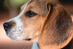 side view (cathy sly) Tags: baker july18 beagle beaglepuppy hound