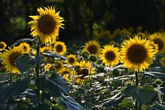 Sous le soleil du soir (Excalibur67) Tags: nikon d750 sigma contemporary globalvision 100400f563dgoshsmc paysage landscape flowers fleurs tournesol sunflower nature champ