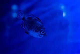 Little fish in blue
