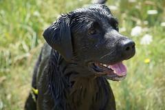 Sid (quietpurplehaze07) Tags: blacklabrador smileonsaturday blackbeauty sid river wet black labrador