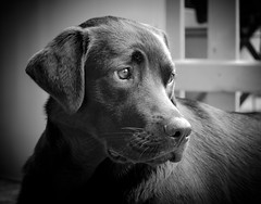 DSCF7509 (bc-schulte) Tags: fujifilm fujinon xt20 50230mm white blackwhite labrador retriever hund dog schwarz weiss