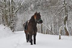Alles hat seine Zeit.... (Uli He - Fotofee) Tags: ulrike ulrikehe uli ulihe ulrikehergert hergert nikon nikond90 fotofee pferd schnee winter eis kalt kälte erfrischung abkühlung