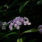 Tellerhortensie / bluebird thumbnail