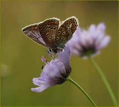 Female Common Blue - nectaring on field scabious (glostopcat) Tags: commonbluebutterfly butterfly insect invertebrate wildflower fieldscabious macro summer august glos butterflyconservation prestburyhillnaturereserve