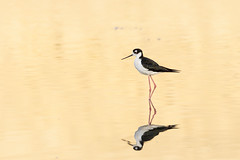 Black-necked Stilt (Trent Bell) Tags: peckroadpark peckroadwaterconservationpark elmonte arcadia california socal 2018 bird birding birdwatching blackneckedstilt