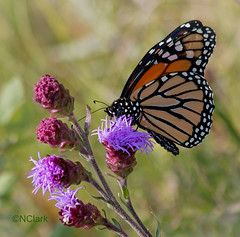 Monarch Butterfly - Danaus plexippus (N.Clark) Tags: monarchbutterflydanausplexippus meadowblazingstarliatrisligulistylis manitobabutterflies monarchonwildflower familynymphalidae butterflies meadow naturephotography insects insectsonflowers naturethroughthelens