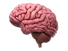43656809_ml (mghresearchinstitute) Tags: 3d anatomical anatomy artwork biology biomedical body brain cerebellum cerebrum graphic gyri health human illustration isolated lateral medical onwhite rendering science side