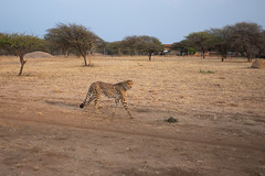 L1009233 (Ivan Lau) Tags: namibia cheetahconservationfund