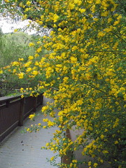 DSC03031 (classroomcamera) Tags: outside outdoor outdoors walk walks walking walkway walkways wood wooden path paths pathway pathways flower flowers petal petals grow grows growing growth plant plants tree trees branch branches leaf leaves leafy green yellow spring third thirds rail rails railing