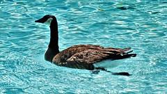 20180423 Goose in the pool at Wooddale Village (lasertrimman) Tags: 20180423 goose pool wooddale village wooddalevillage gooseinthepool