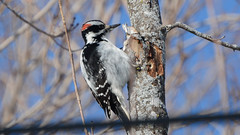 Hairy Woodpecker (Our Local Wildlife) Tags: hairywoodpecker