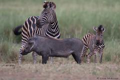 Strange bedfellows (leendert3) Tags: leonmolenaar southafrica krugernationalpark wildlife nature warthog burchellszebra mammals naturethroughthelens ngc npc