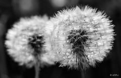 Seeds of dandelions B&W (adp_cz) Tags: