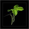 Für Allergiker... (For allergy sufferers ...) (alfred.hausberger) Tags: allergiker pollen birke grün