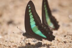 Graphium sarpedon luctatius (Common Bluebottle) (GeeC) Tags: animalia arthropoda butterfliesmoths cambodia commonbluebottle graphium graphiumsarpedonluctatius insecta kohkongprovince lepidoptera nature papilionidae papilionoidea tatai truebutterflies