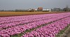Holland (Rolandito.) Tags: holland netherlands tulip flower field fields