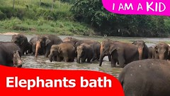 Video of elephants drinking water in the open river | I Am A Kid- Elephant Video (I_Am A Kid) Tags: animal safari kids video elephant for i am a kid channel lesson