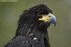 Sea Eagle - Zoo Veldhoven (Mandenno photography) Tags: animal animals sea seaeagle eagle zoo veldhoven vogelpark ngc nederland netherlands nature dierenpark dierentuin dieren