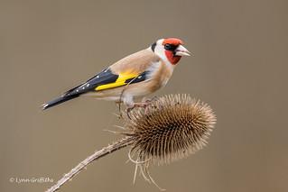 Goldfinch - No3 on Explore - D85_2437.jpg